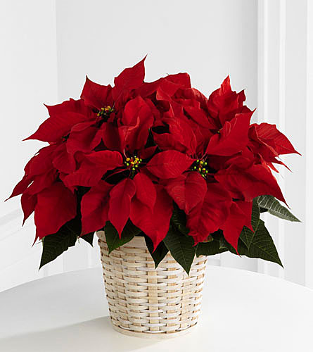 Red Poinsettia Basket - 6 inch pot size
