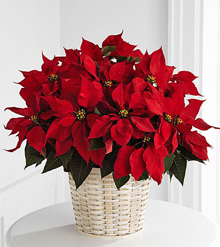 Large Red Poinsettia Basket - 8 inch pot size