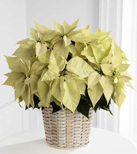 Large White Poinsettia Basket - 8 inch pot size