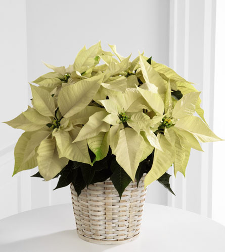 White Poinsettia Basket - 6 inch pot size