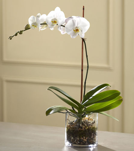 Serene White Orchid